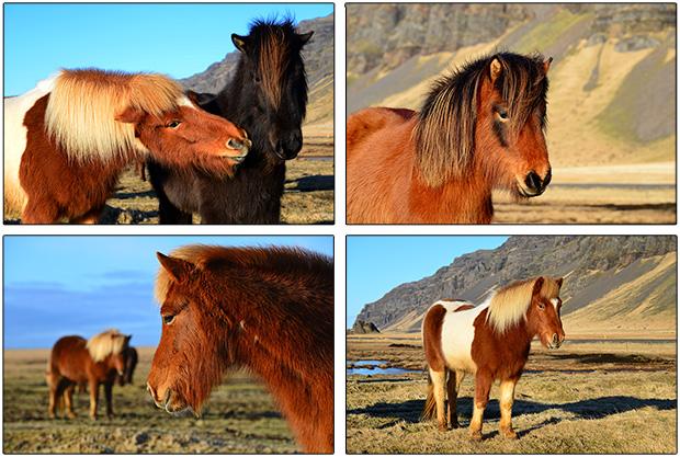 Pferde_Island2013k